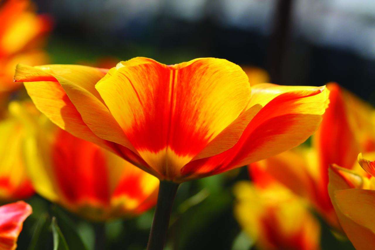 Sandy Cohen-Tulip Flame of Hope_PDF Creativity Calendar 2014[4]